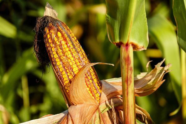 przystawka do kukurydzy